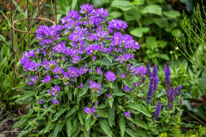 Campanula glomerata Freya Campanula-freya-130708-97rm