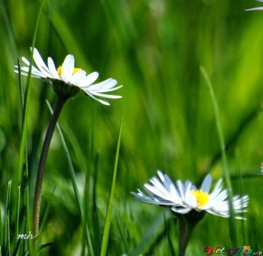 hoa cúc trằng sớm mai