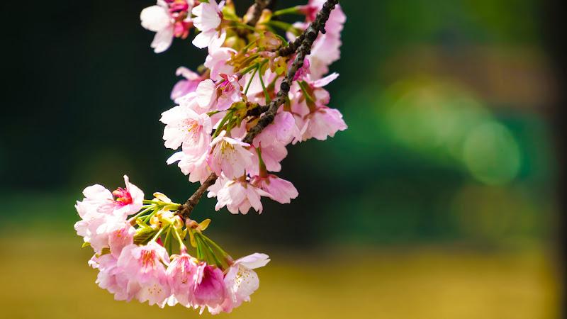 新宿御苑 オオカンザクラ(大寒桜)