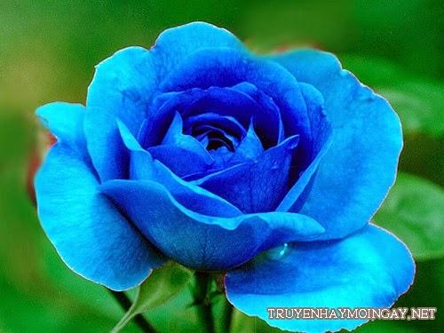 Những hình ảnh hoa hồng xanh đẹp nhất Thế Giới