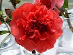 紅色 獅子〜牡丹咲き 小輪