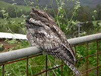 tawny frogmouth resident pair