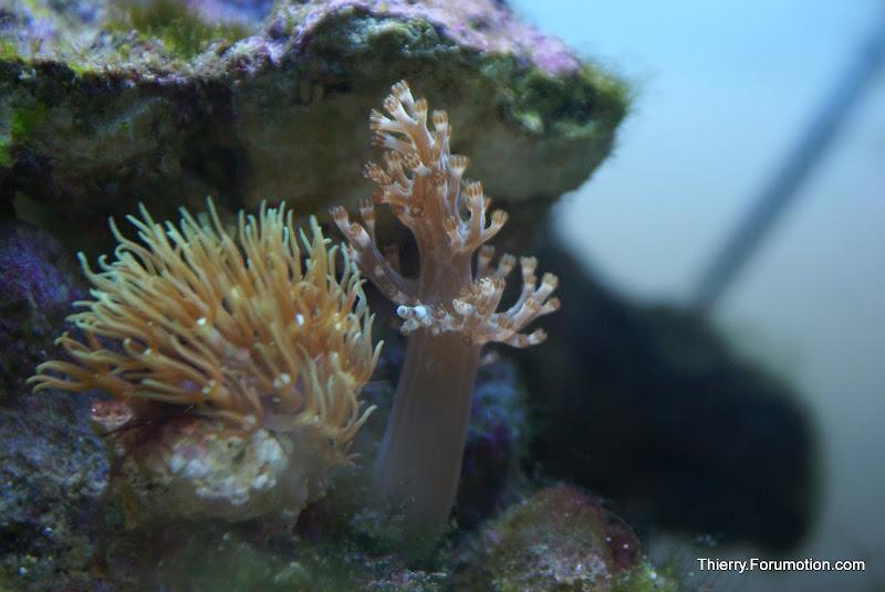 Capnella imbricata (Kenya Tree Coral) DSC04850