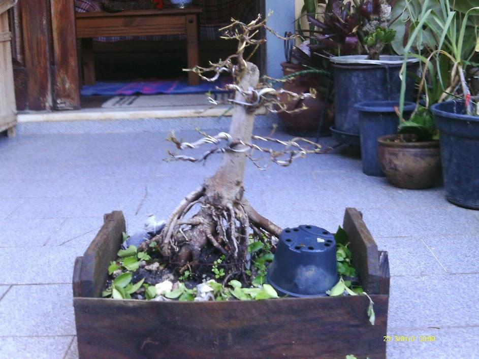 Ficus Microcarpa var. Indica... IMAG0325