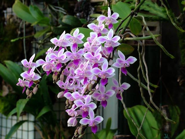 Растения из Тюмени. Краткий обзор - Страница 7 Phalaenopsis%252520equestris