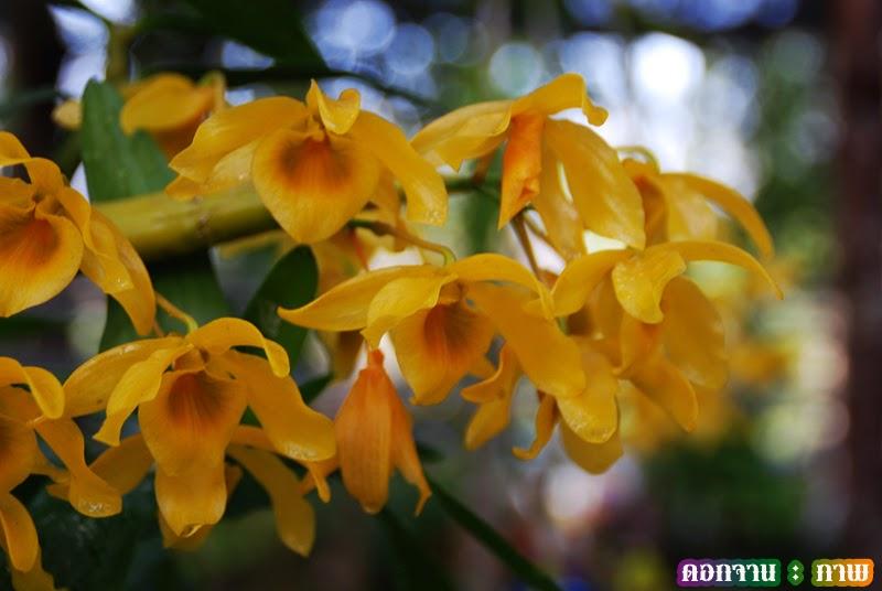 เหลืองจันทบูร