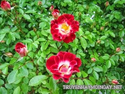 Ngất Ngây Với Vẻ Đẹp Tự Nhiên Của Những Vườn Hoa Hồng
