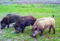 Κάπροι που τρώνε, αγριόχοιροι,καταγωγή κάπρων,γονίδιο Κάπρων,Boars eat, wild boars, boar lineage, gene Boars.