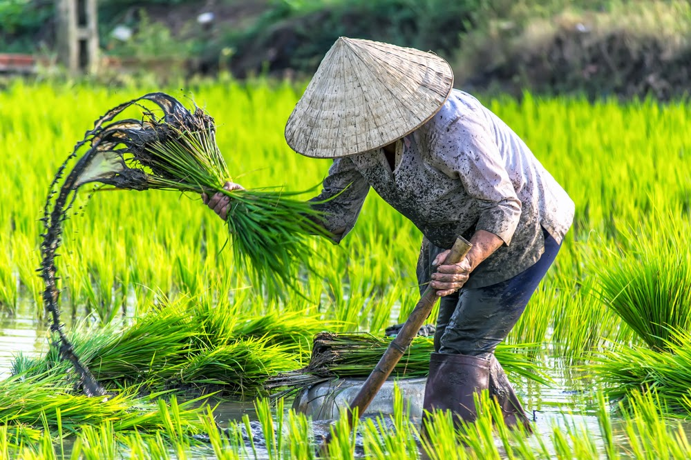 vietnamese woman in a rice crop field