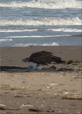 Le petit dejeuneur de un buitre en la playa