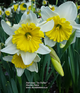 "Narcissus ""Ice Follies"""