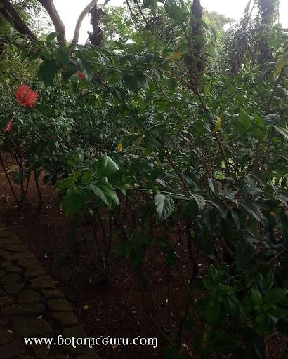 Hibiscus schizopetalus, Coral Hibiscus shrub