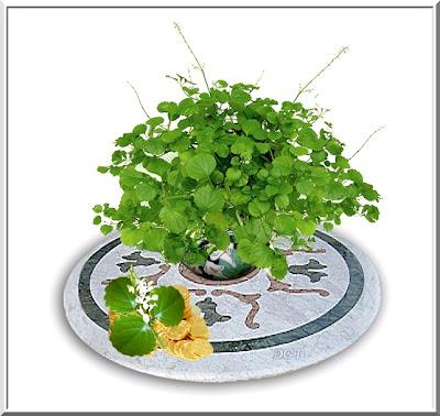 http://tunturuntun-com.blogspot.com.es/2011/03/planta-del-dinero-plectranthus.html