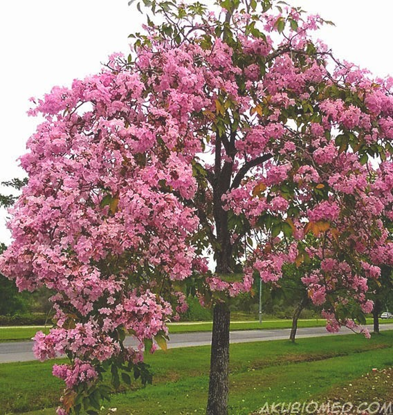 Tabebuia pentaphylla merah jambu