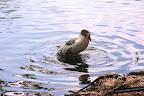foto de un pato en el lago