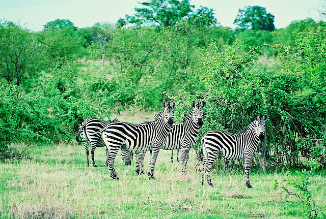 wild zebras in jungle