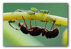 Борьба с садовыми муравьями
