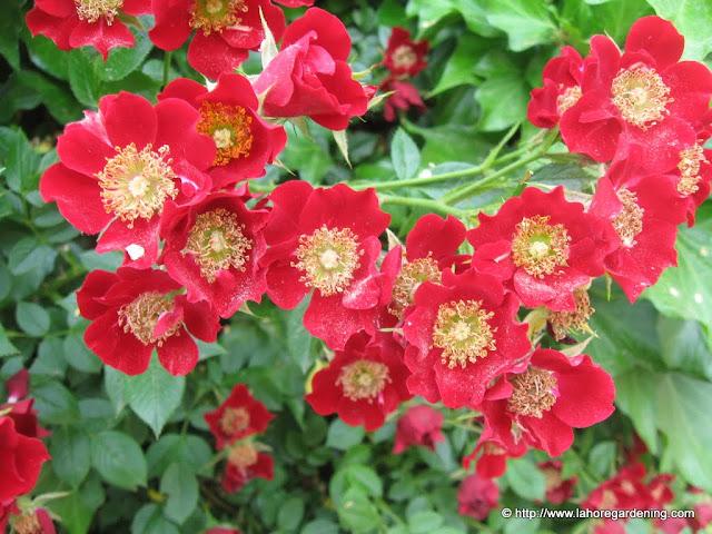 Dortmund rose