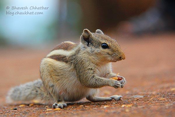 Five-striped palm squirrel / Funambulus pennantii / Northern palm squirrel