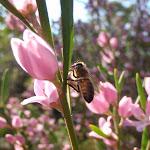 Eriostemon australasius (Pink Wax Flower) and bee (177756)