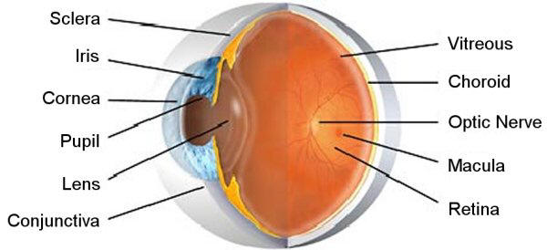 allergic conjunctivitis treatments what is the conjunctiva. Black Bedroom Furniture Sets. Home Design Ideas