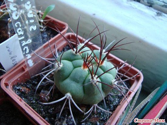 мой райский сад:) - Страница 8 Gymnocalicium%2520saglionis