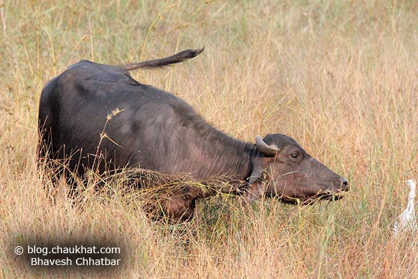 A little aggressive Grazing Indian Buffalo