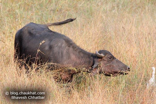 A little aggressive Grazing Indian Buffalo