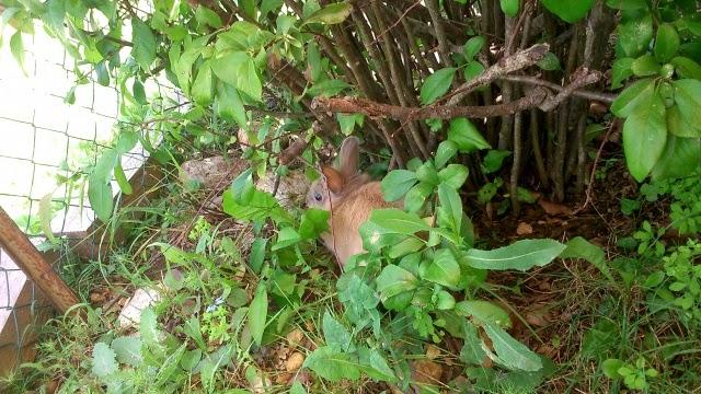 Griffe, petite lapine marrons- [adoptée] 719125DSC0124