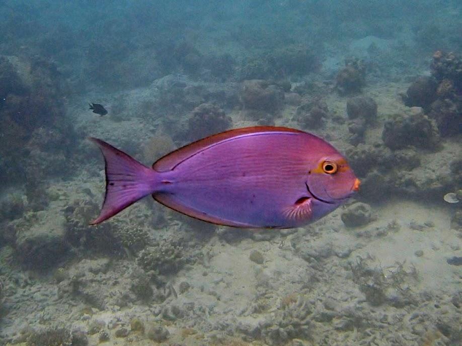 Acanthurus mata (Yellowmask Surgeonfish), Entatula Island Beach Club reef, Palawan, Philippines.