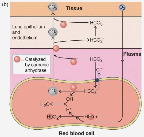 De eritrocito a epitelio pulmonar