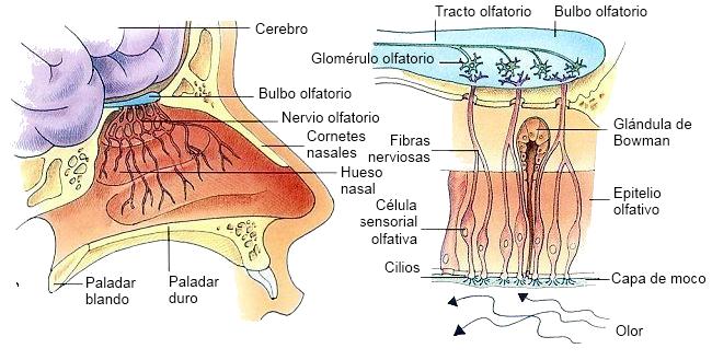Biología y Geología 3º ESO: Órganos de los sentidos I: el