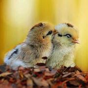 К чему снится желтый цыпленок?