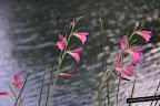 Flores en el lago de Anna