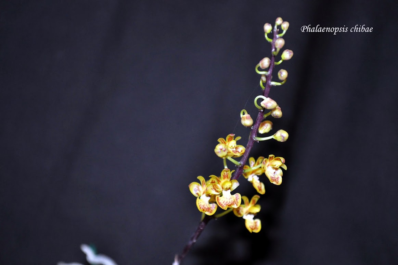 Phalaenopsis chibae DSC_0009