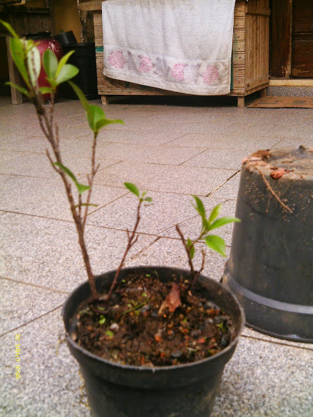 Ficus Microcarpa, finalização Rapida... IMAG0166