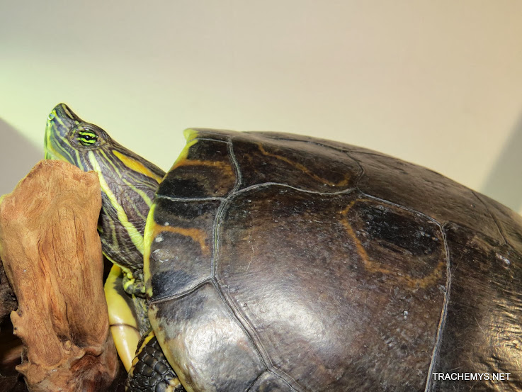 mes tortues (BK) - Page 12 IMG_3821