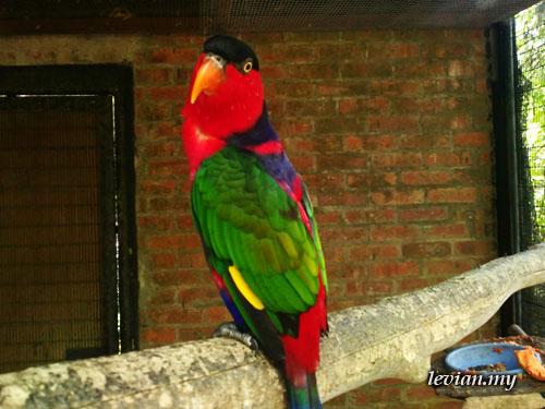 Parrot (SE Vivaz)
