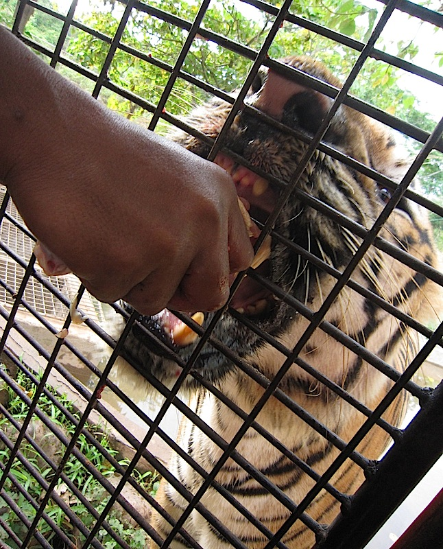 close encounter with a tiger at the Zoobic Safari