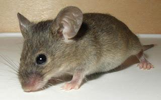 Je l'appelais ma petite souris