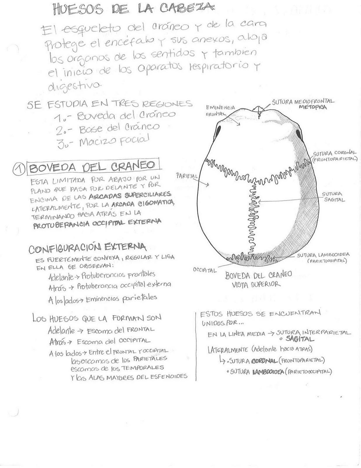 Anatomía Humana... Para Humanos: Sistema Oseo - Bóveda del Cráneo