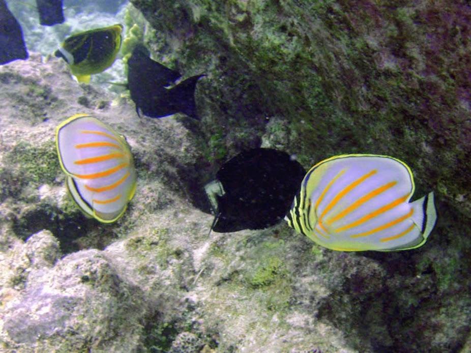 Chaetodon ornatissimus (Ornate Butterflyfish), Rarotonga.