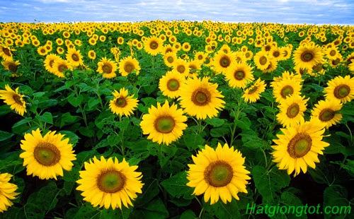 Hướng dẫn chăm sóc hoa hướng dương