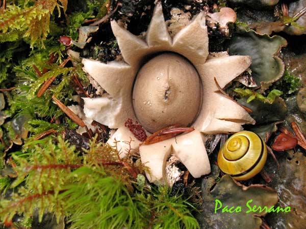Geastrum saccatum