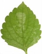 fotosintesis menghasilkan amilum