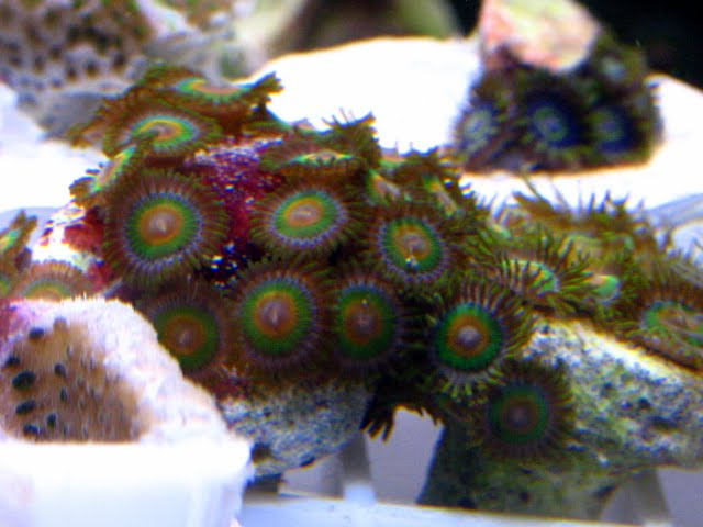 IMG 3399 - FS: Purple Hornets, Rasta's, RPE, Sunset/Rainbow/Superman, Neon Candy Cane Coral