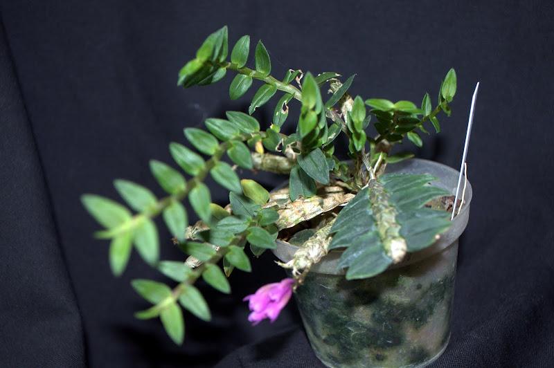 Dendrobium limpidum DSC_0001