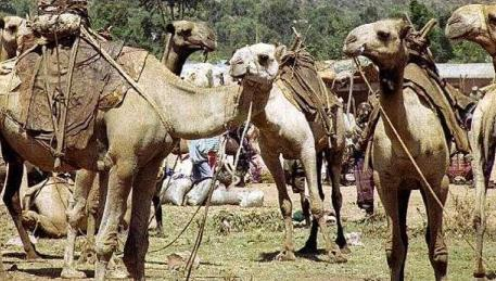 Camellos en manada
