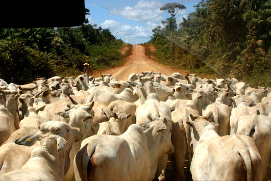 photo of cattle in a herd on a dirt road through a forest