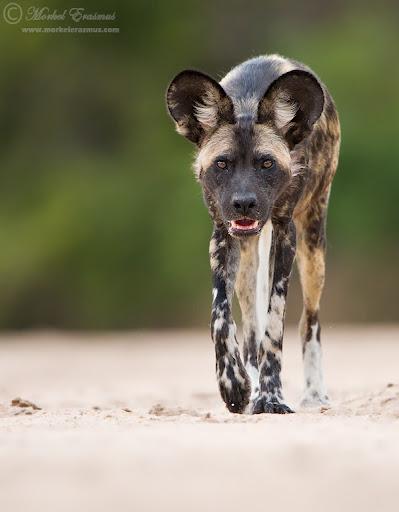 wilddog_approach_1_ManaPools_2012.jpg
